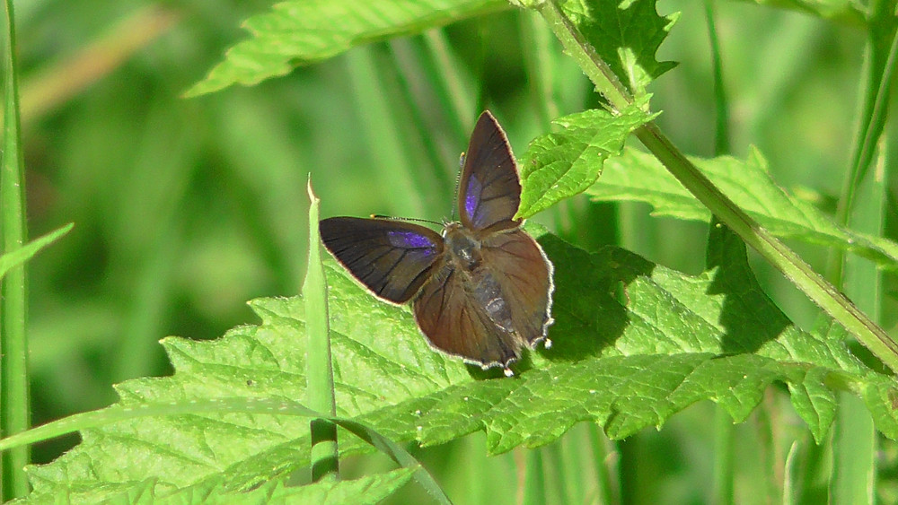 Purple Hairstreak butterfly (female), Bookham Common, Surrey