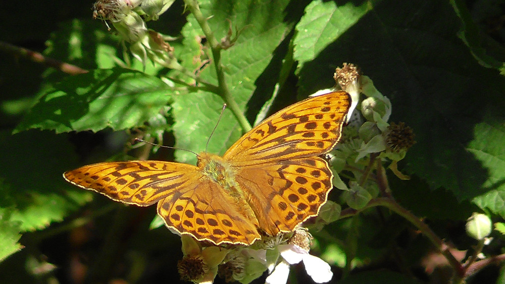 Silver-Washed Fritillary butterfly, Bookham Common, Surrey