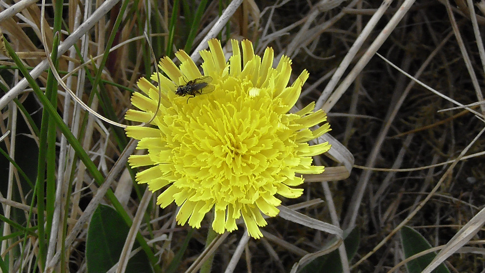 Mouseear Hawkweed, Long Nanny Tern Site, Northumberland
