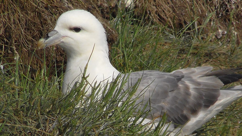 Fulmar on the Farne Islands (Staple Island), Northumberland