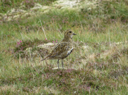 Golden Plover, Norwick, Unst