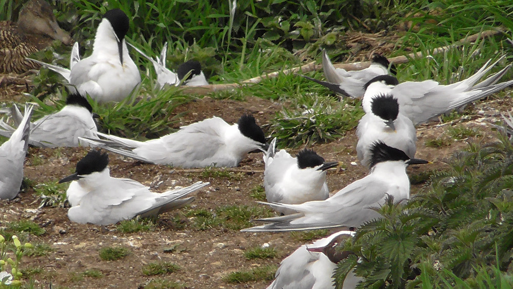 Sandwich Terns on the Farne Islands (Inner Farne),  Northumberland