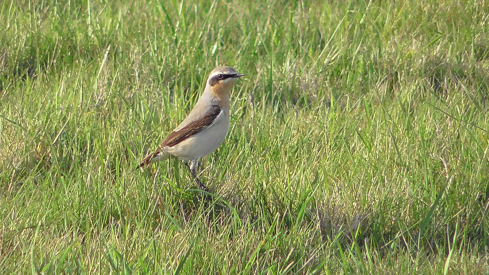 Migrant Wheatear arriving at Seaford Head, East Sussex