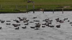Great Skuas (Bonxies)