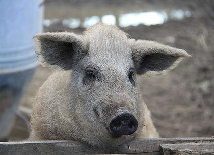 Magalitza-Schwein der Familie Sommer in Mörbisch am See