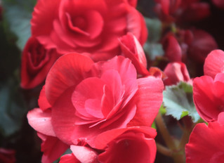 2018 Luther Burbank Rose Parade Experience