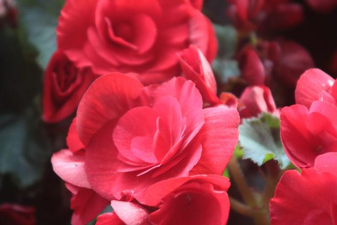Drunken Roses (Ink, Sweat and Tears) - Julie Irigaray Poet