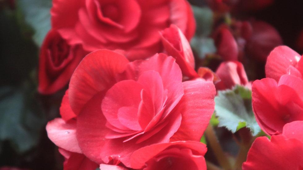 Freshly Picked Roses
