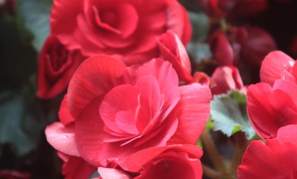 Supplément pétales de roses sur le lit