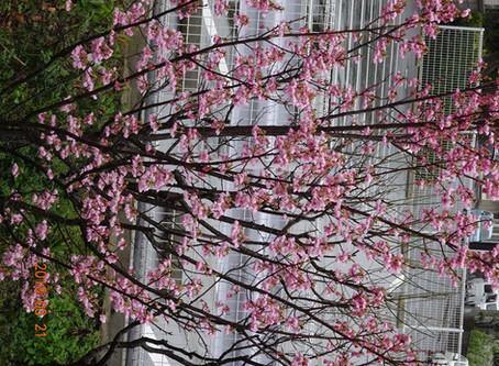 病院の箱庭の桜開花