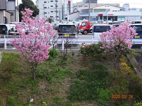 新型コロナウイルスに負けない桜