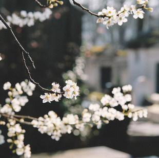 bílé květy