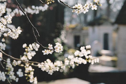 Hvide blomster