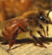 honeybee, bee, beekeeper, honey