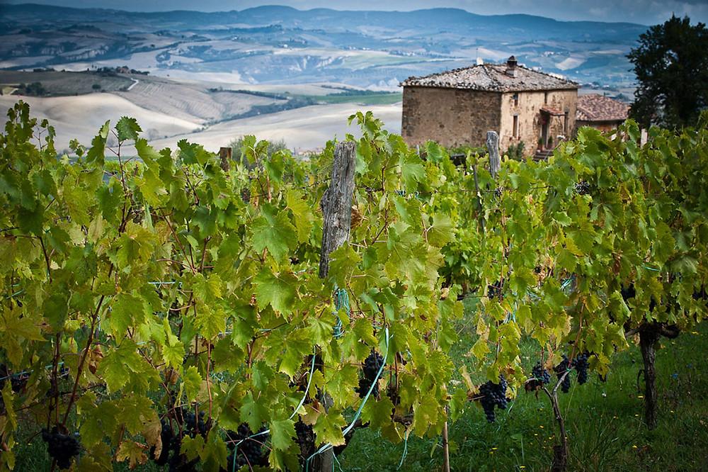 I vigneti e il tipico paesaggio intorno a Montalcino