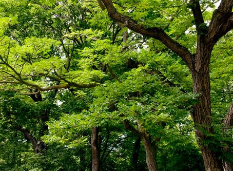 7 Bäume für Ostfriesland - Echter Korkbaum