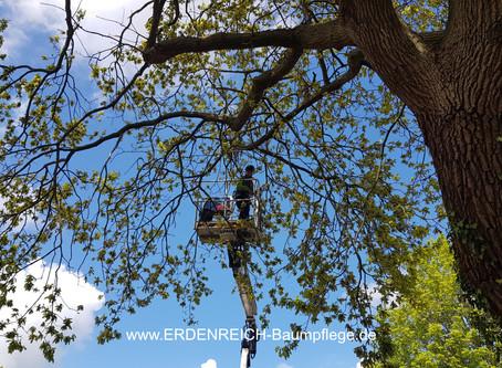 Von Mythen und Legenden in der Baumpflege