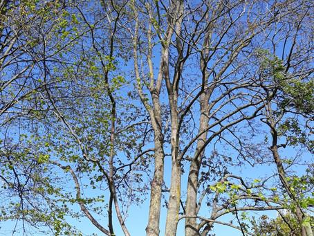 Von Linden und Ahornbäumen