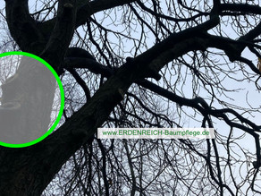 Der erste große, unsachgemäße Schnitt an einem Baum, führt oft zu Schädigungen!