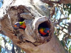 Nest, Rainbow Lorikeet