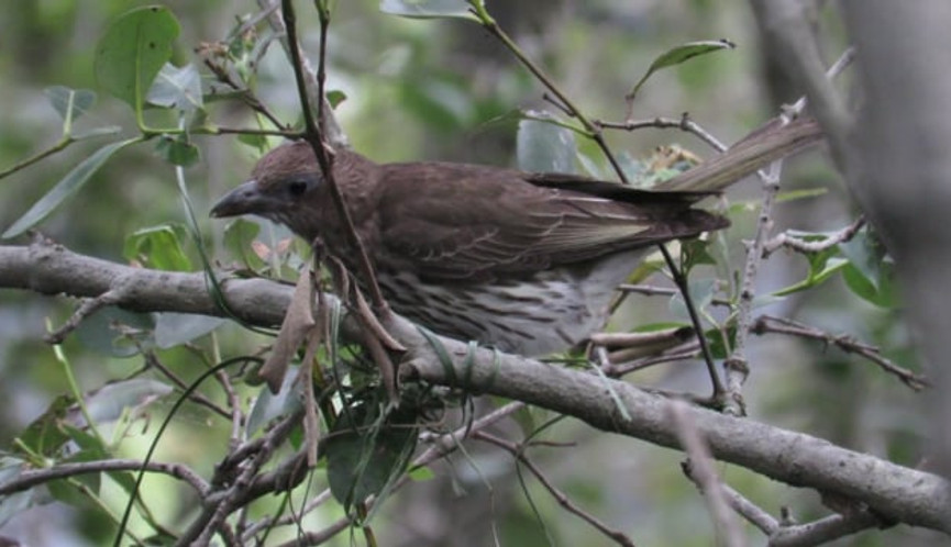 Female Australasian Figbird in early stages of nestbuilding