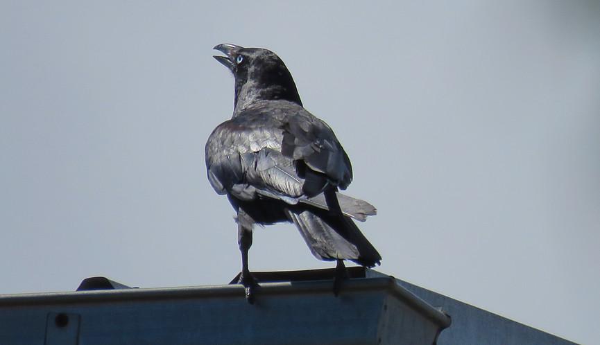 Adult Torresian Crow calling