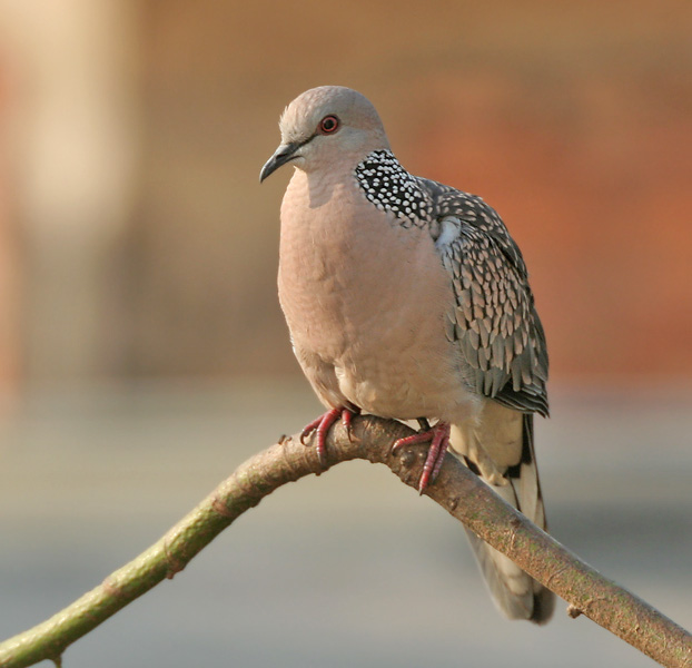 Spotted Dove, by J.M.Garg