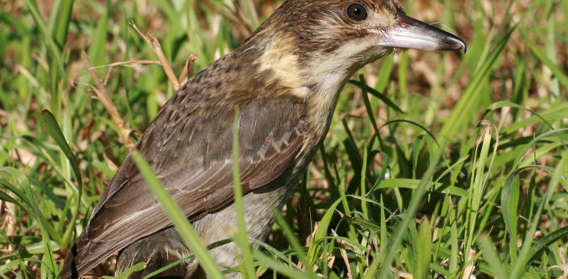 Grey Butcherbird juvenile in grass