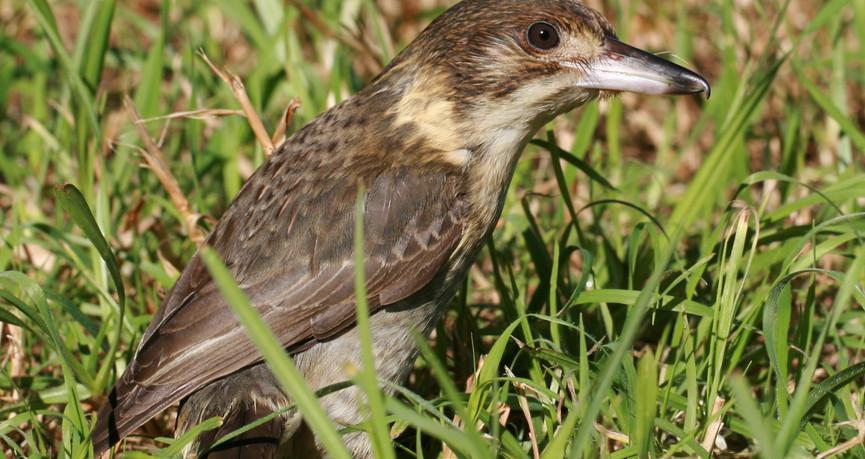 Grey Butcherbird juvenile in grass