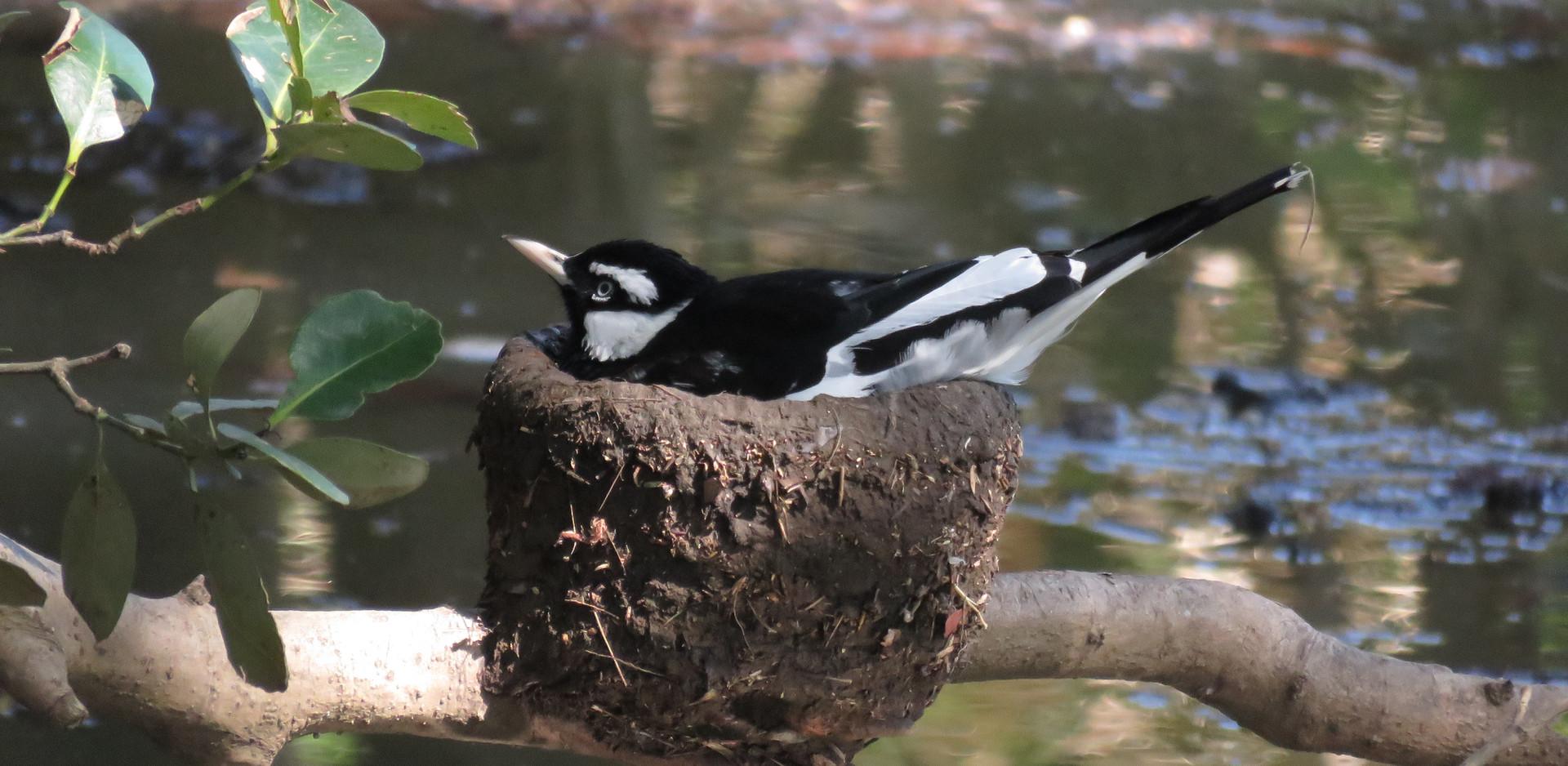 Adult male Magpie-lark on his mud nest