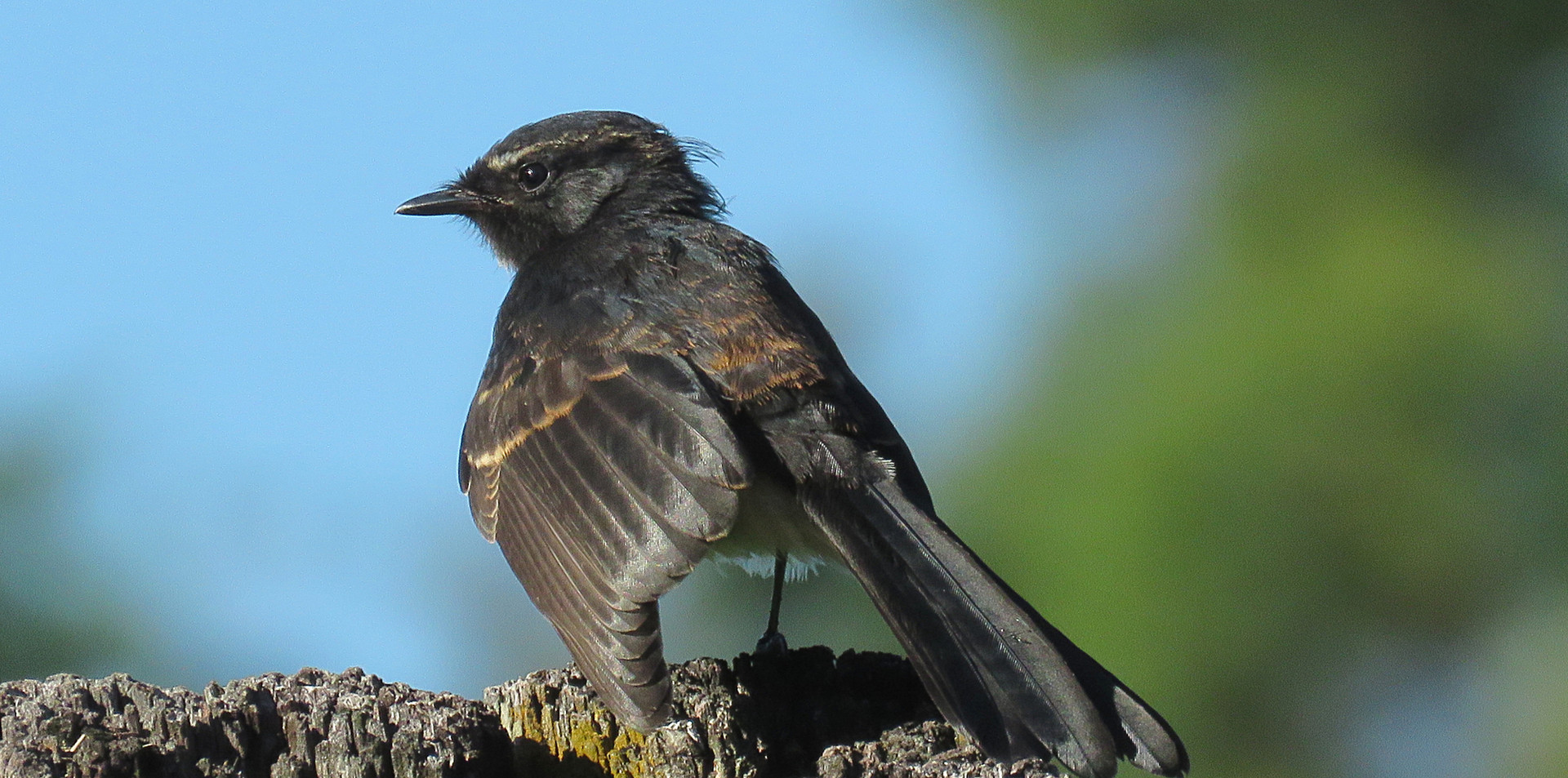 Juvenile Willie Wagtail