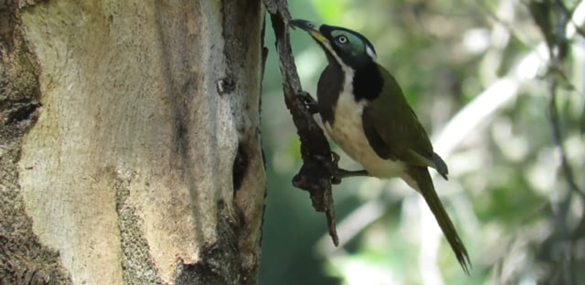 Immature Blue-faced Honeyeater foraging