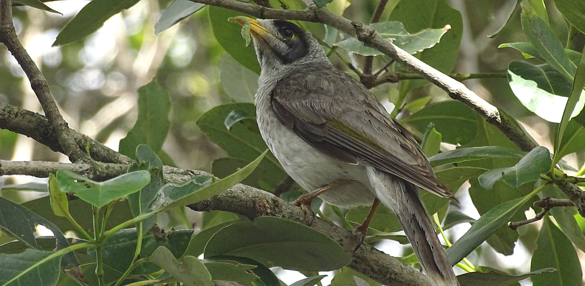 Adult Noisy Miner bringing a catepillar to nest