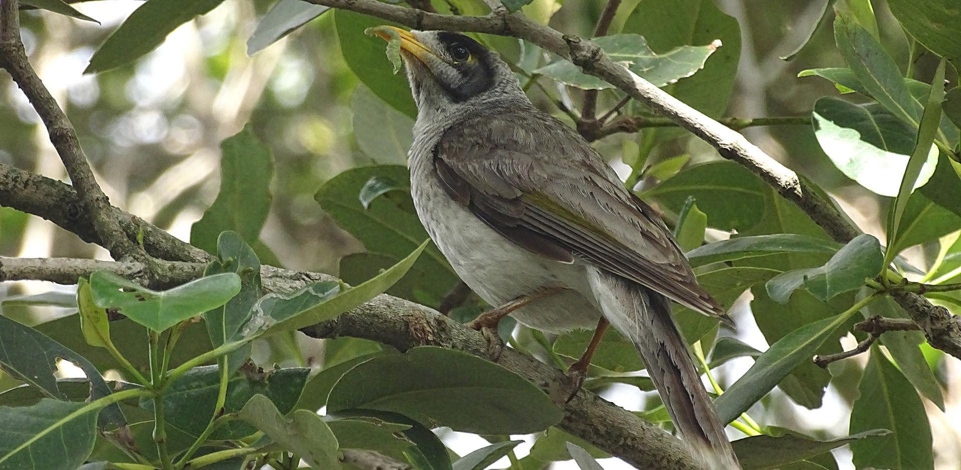 Adult Noisy Miner bringing a catepillar to nest