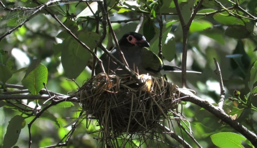 Adult male Australasian Figbird sitting on nest with young chicks