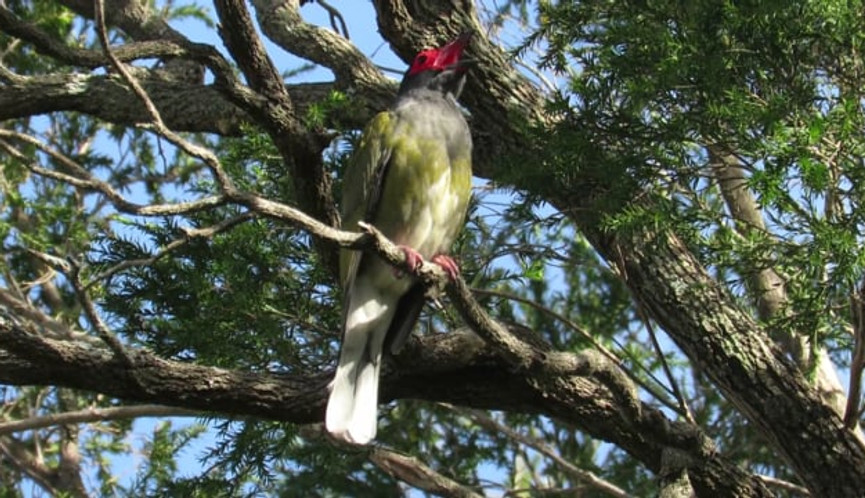 Adult male Australasian Figbird calling, competing with traffic noise