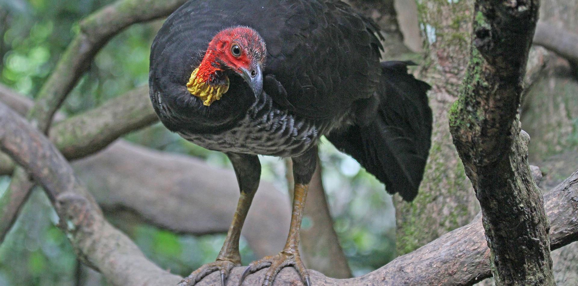 Adult Australian Brush-turkey in tree
