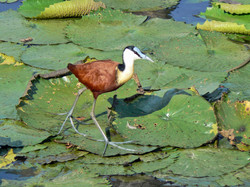 African Jacana (Actophilornis africanus) in Kruger National Park, South Africa.