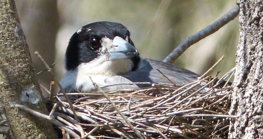 Grey Butcherbird on the nest