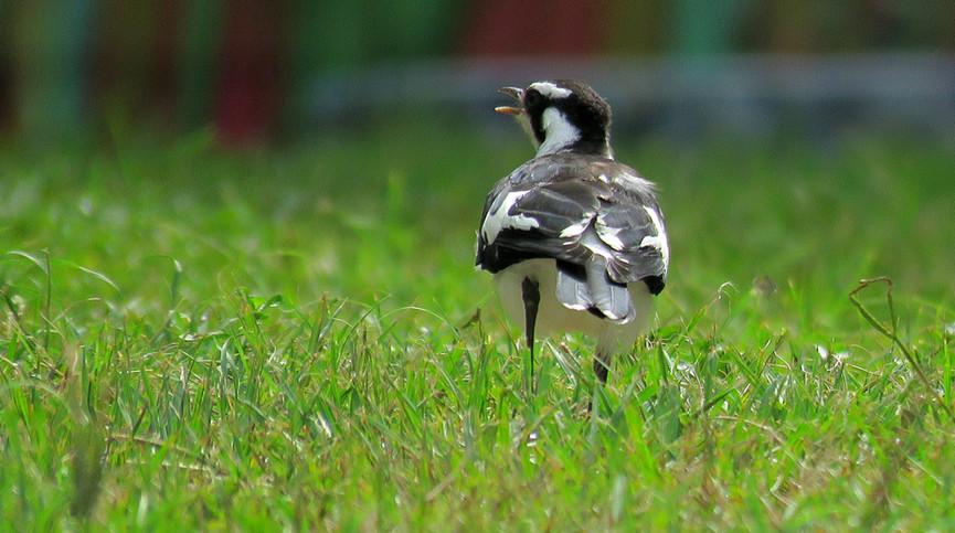 Adult male Magpie-lark calling