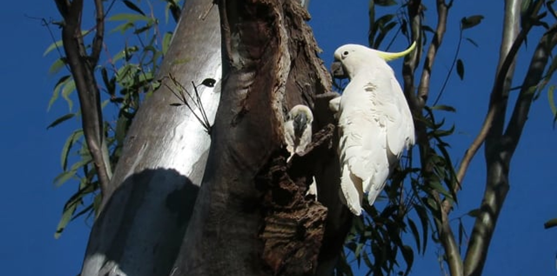 Sulphur-crested Cockatoos at nesting hollow