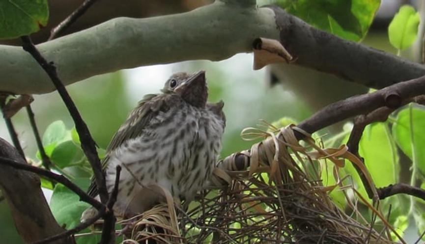 Australasian Figbird chick