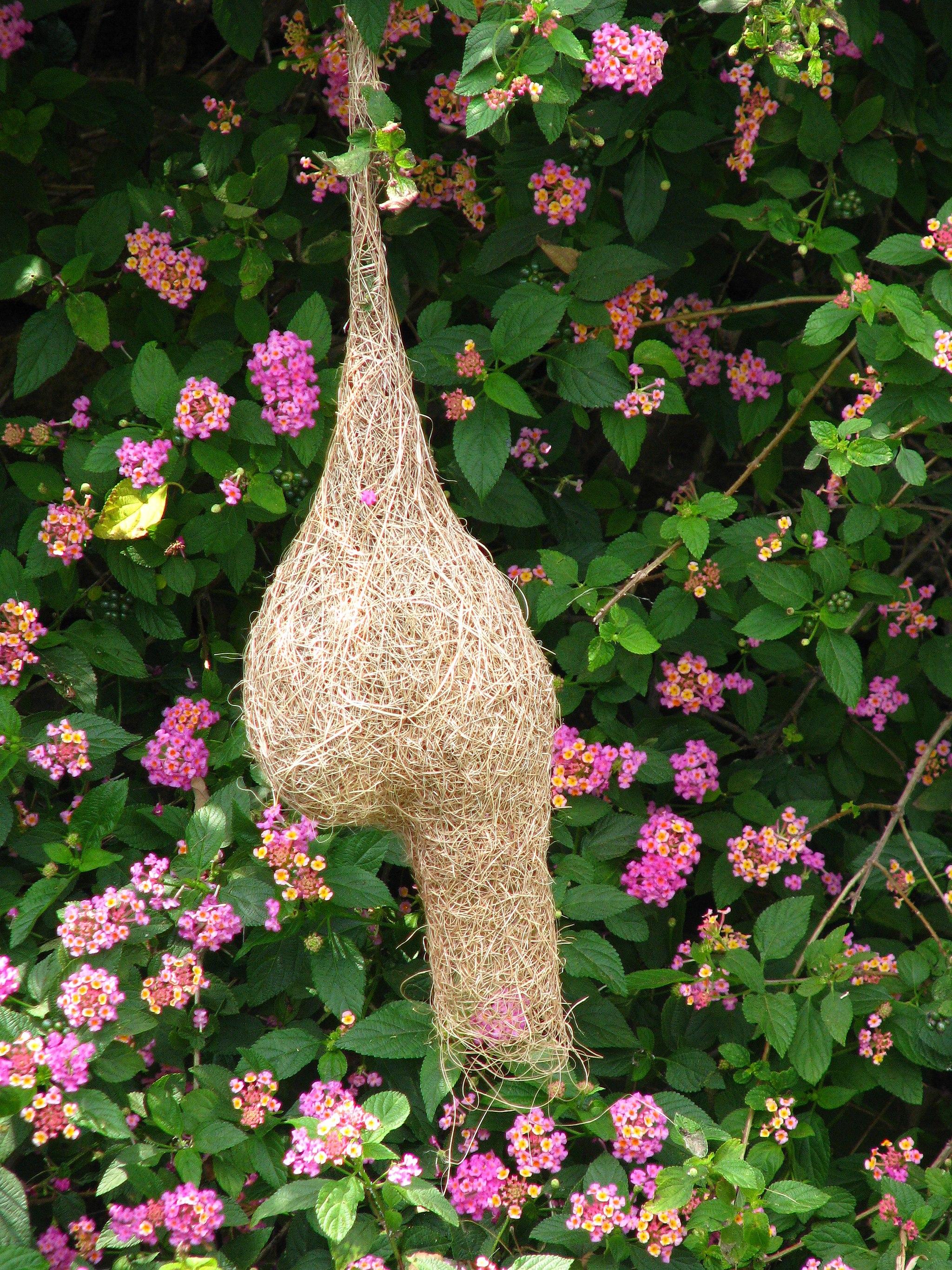 A Bird's nest at Yelagiri, India