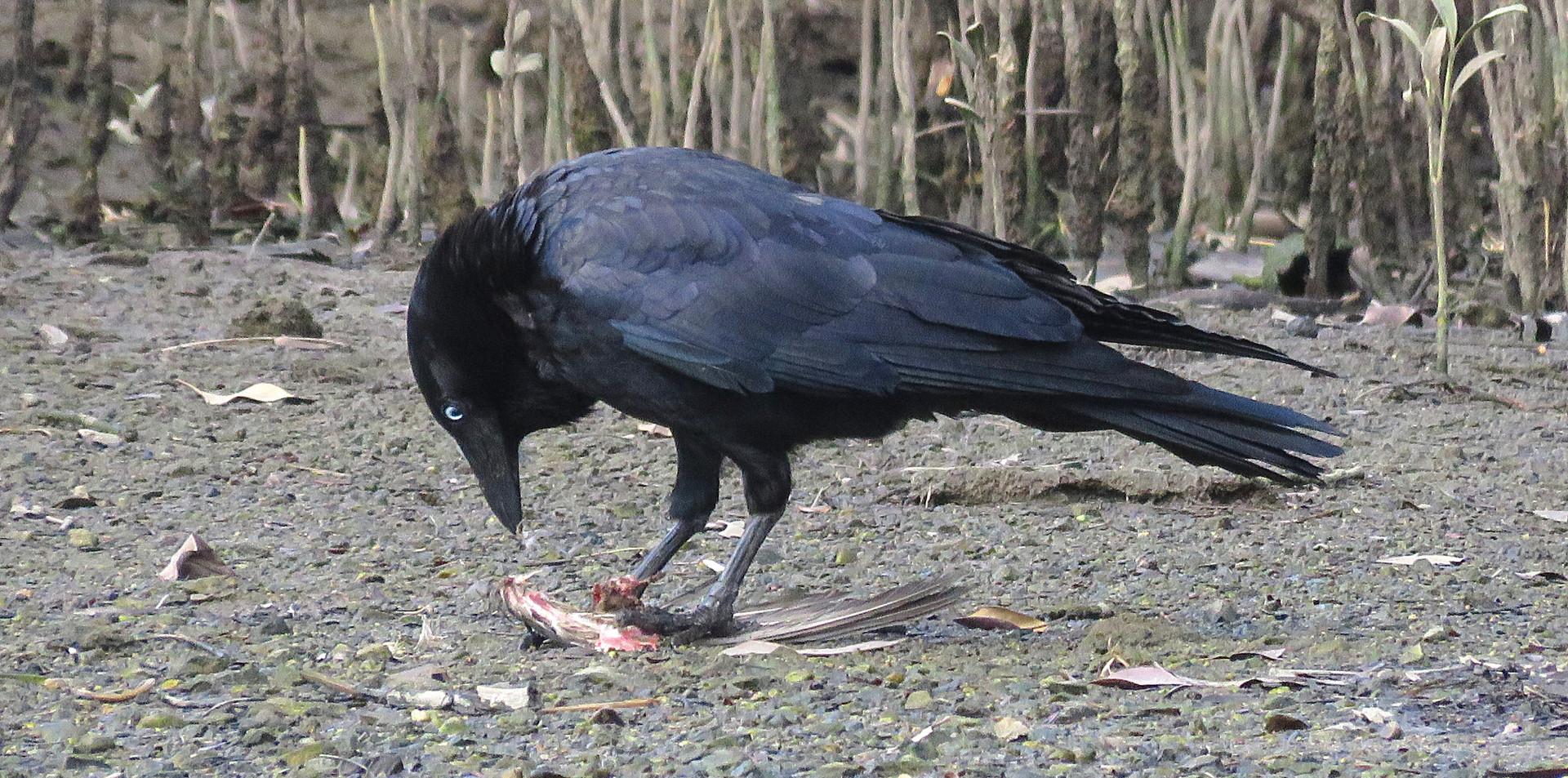 Adult Torresian Crow feeding on a bird wing