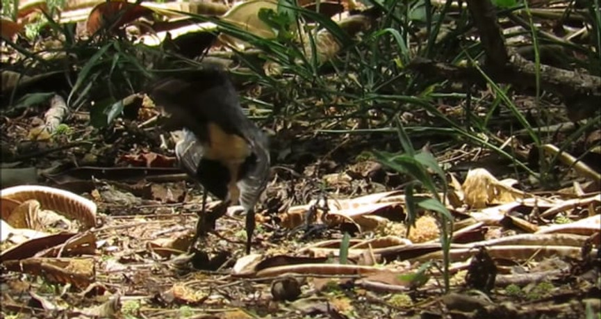Willie Wagtail foraging