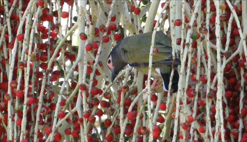 Adult male Australasian Figbird collecting fruit