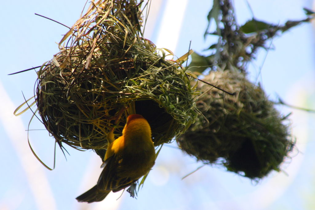 Taveta Golden-weaver (Ploceus castaneiceps) nest, Disney World's Animal Kingdom, Orlando, Florida.