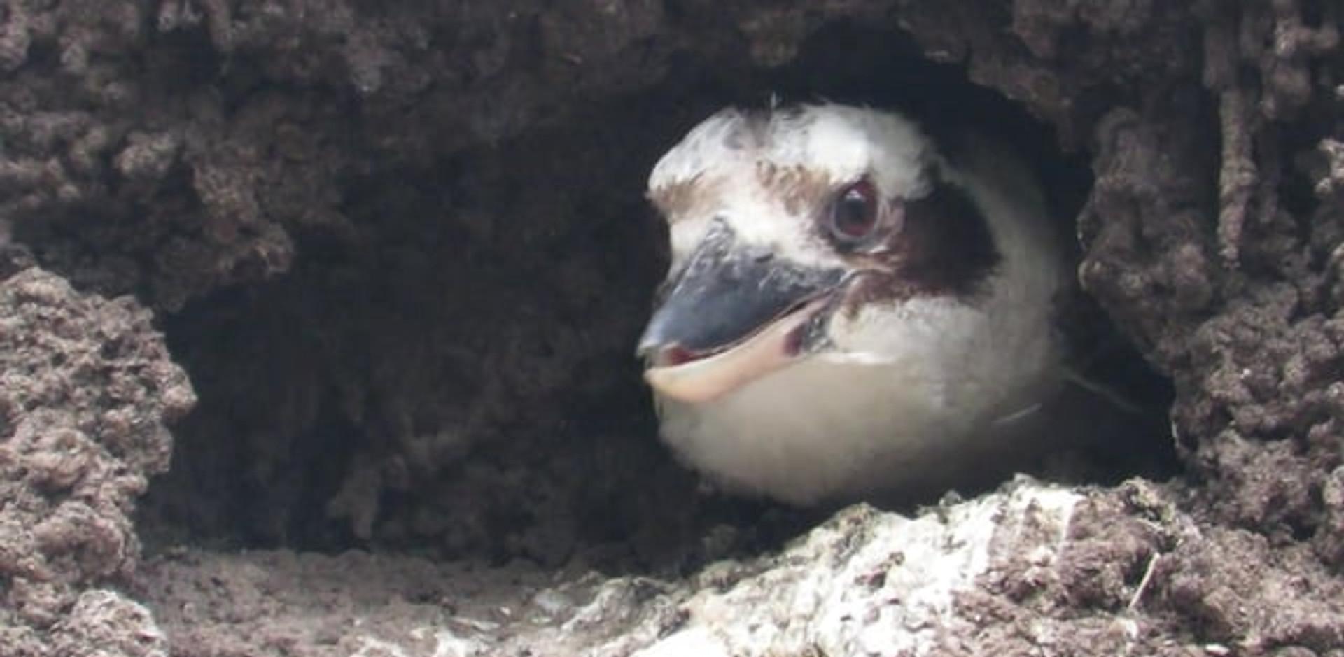 Laughing Kookaburra in the nest