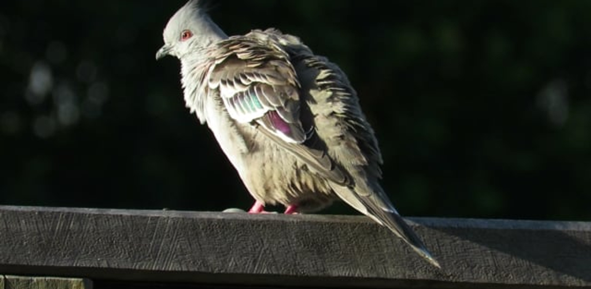 Adult Crested Pigeon preening in early morning sun