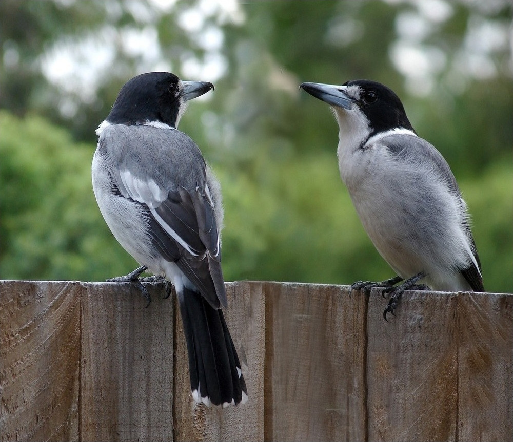 Grey Butcherbirds in a Brisbane garden